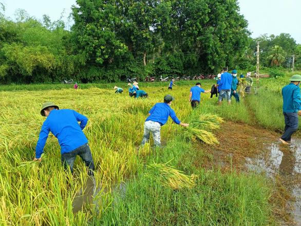 Gần 1.000 đoàn viên, thanh niên giúp dân thu hoạch lúa mùa tránh bão số 5 - Ảnh 2.