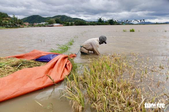 Người dân Đắk Lắk chấp nhận gặt lúa non để chạy lũ - Ảnh 2.