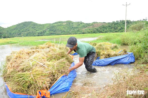 Người dân Đắk Lắk chấp nhận gặt lúa non để chạy lũ - Ảnh 3.