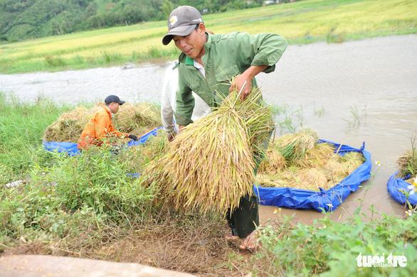 Người dân Đắk Lắk chấp nhận gặt lúa non để chạy lũ - Ảnh 4.