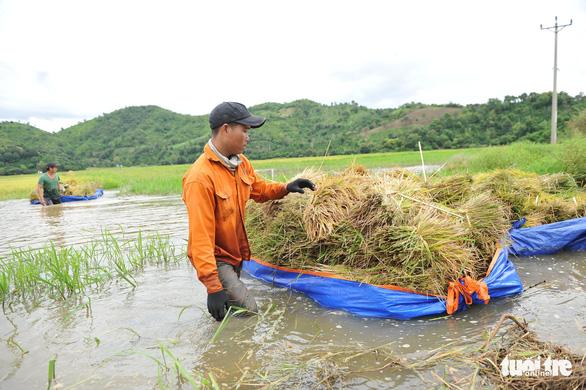 Người dân Đắk Lắk chấp nhận gặt lúa non để chạy lũ - Ảnh 5.