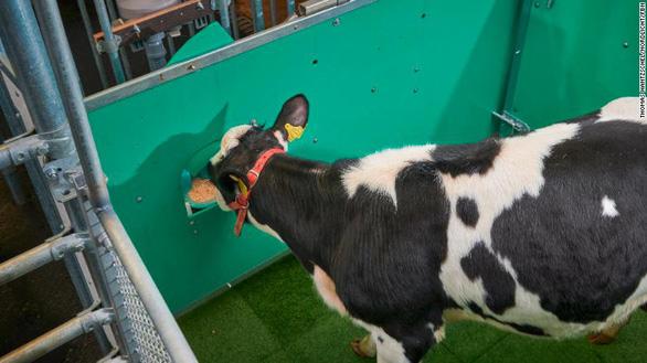 Đức huấn luyện bò giải quyết nỗi buồn đúng chỗ để bảo vệ môi trường - Ảnh 1.