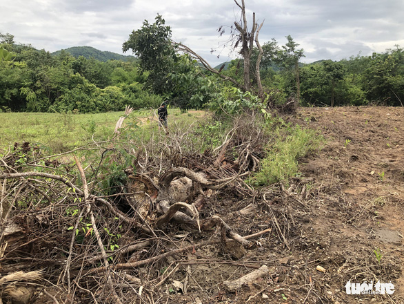 San ủi cây rừng tái sinh để... trồng keo lai - Ảnh 7.
