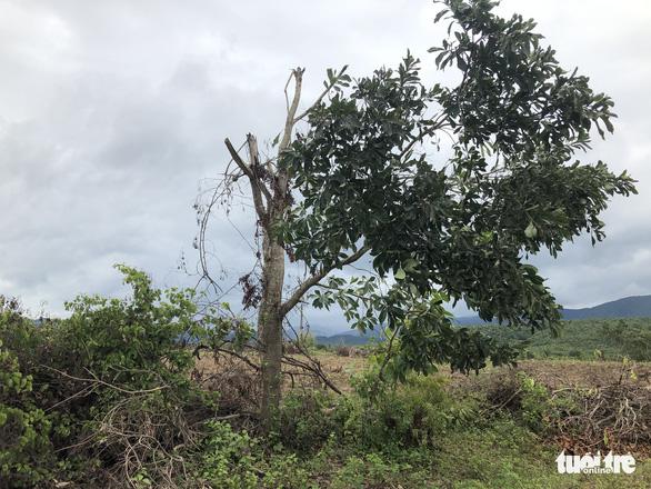 San ủi cây rừng tái sinh để... trồng keo lai - Ảnh 4.