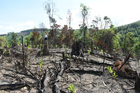 'Đốn rừng phòng hộ đầu nguồn để trồng keo': Điều tra có hay không người đứng sau - Ảnh 3.