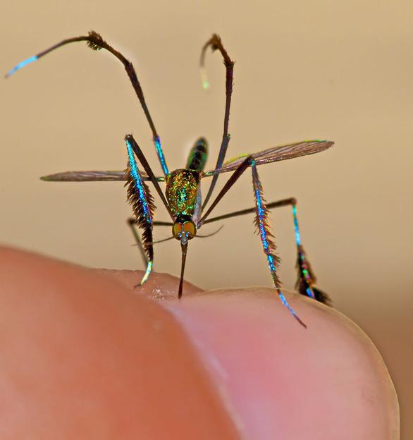 Loài muỗi đẹp nhất thế giới được giới nhiếp ảnh gia săn đón - Ảnh 5.