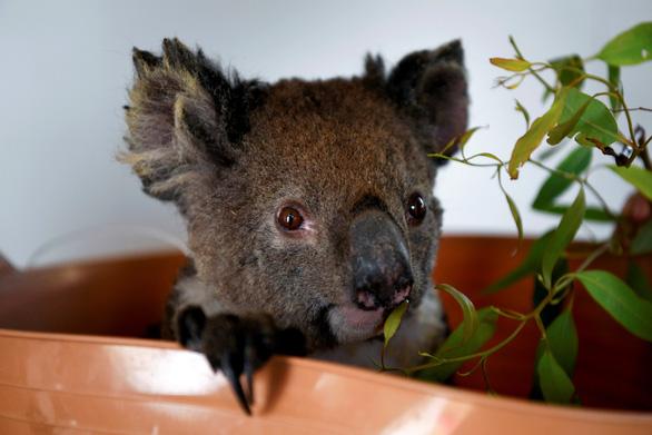 Thiên tai cướp mất 30% gấu túi koala ở Úc chỉ trong 3 năm - Ảnh 1.