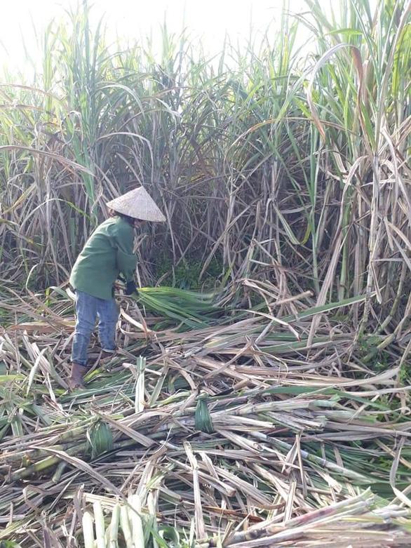 Đường Thái tràn qua, sản lượng mía Việt Nam thấp nhất trong 20 năm - Ảnh 2.
