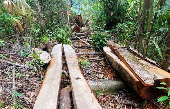 Xác minh thông tin rừng phòng hộ A Lưới bị chặt phá - Ảnh 1.