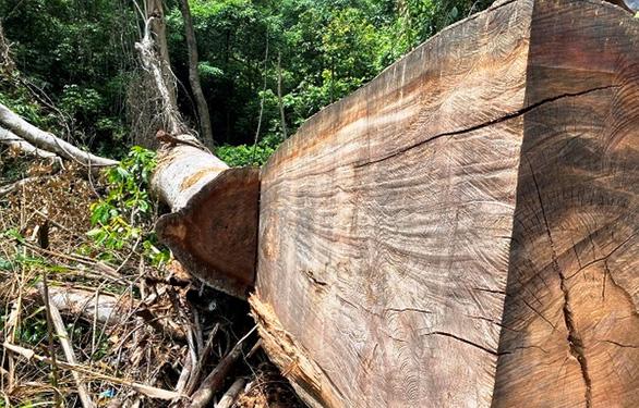 Xác minh thông tin rừng phòng hộ A Lưới bị chặt phá - Ảnh 2.