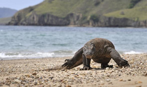 Rồng Komodo vào danh sách nguy cơ tuyệt chủng vì nước biển dâng - Ảnh 1.