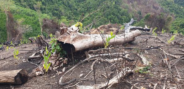 Thường trực Tỉnh ủy Phú Yên yêu cầu kiểm tra thông tin phá rừng Tuổi Trẻ Online nêu - Ảnh 1.