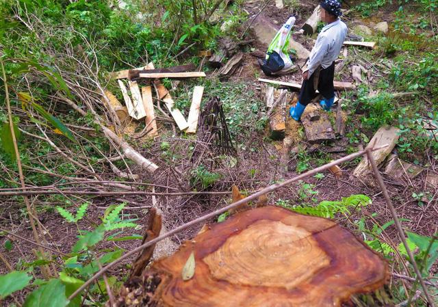Tan nát rừng đầu nguồn - Kỳ 2: Tận diệt pơmu - Ảnh 1.