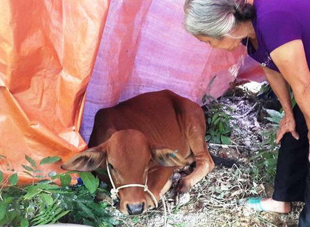 Hỗ trợ người nghèo bò... lở mồm long móng - Ảnh 1.