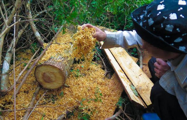 Tan nát rừng đầu nguồn - Kỳ 2: Tận diệt pơmu - Ảnh 3.