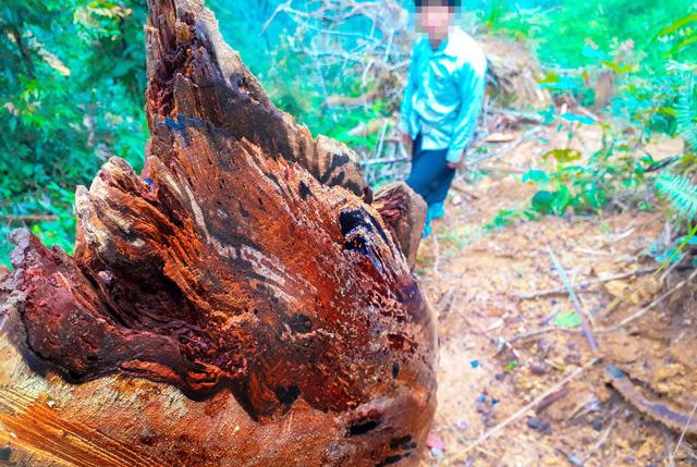 Tan nát rừng đầu nguồn - Kỳ 2: Tận diệt pơmu - Ảnh 4.
