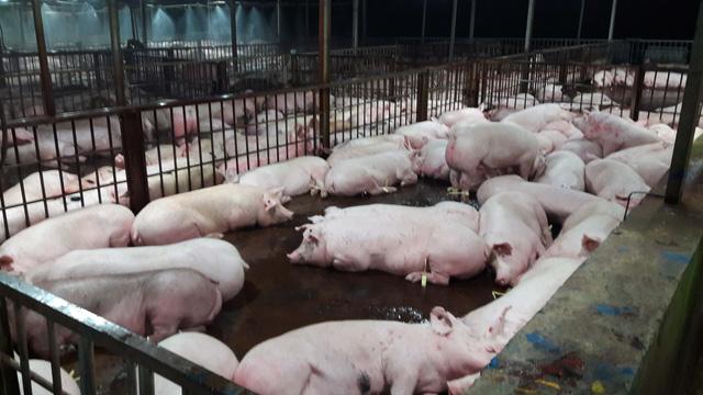 Đề nghị tiêu hủy 3.750 con heo đã bị tiêm thuốc an thần - Ảnh 1.
