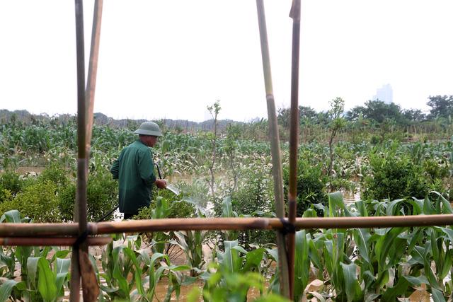 Nước lũ nhấn chìm nhà cửa, vườn tược vùng bãi sông Hồng - Ảnh 5.