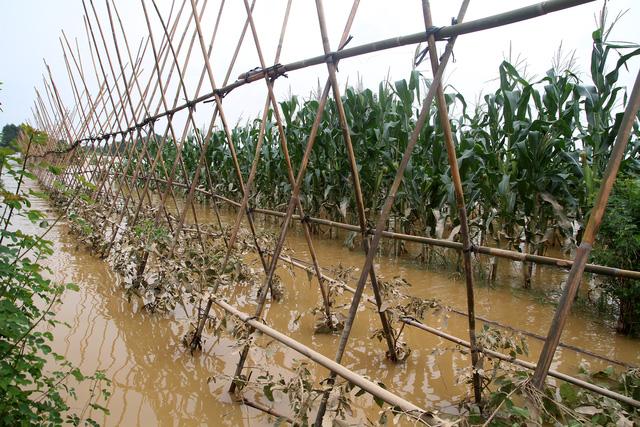 Nước lũ nhấn chìm nhà cửa, vườn tược vùng bãi sông Hồng - Ảnh 3.
