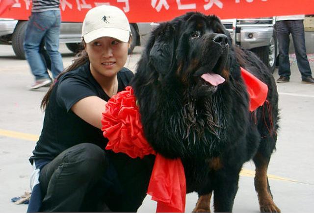 Kinh hoàng với bầy chó ngao Tây Tạng thả rông ở Trung Quốc - Ảnh 3.