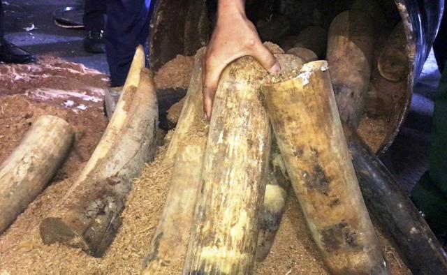 Khởi tố vụ vận chuyển 1,3 tấn ngà voi châu Phi - Ảnh 1.