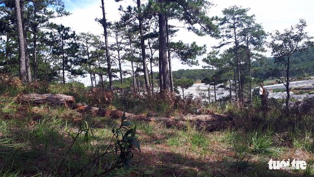 Bắt hai người trong nhóm lâm tặc chặt 20 cây thông 40 tuổi - Ảnh 4.