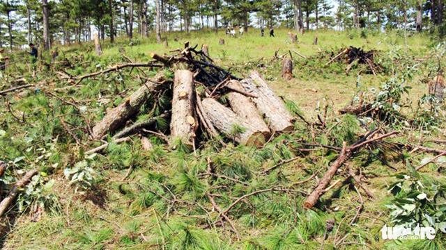 Bắt hai người trong nhóm lâm tặc chặt 20 cây thông 40 tuổi - Ảnh 5.