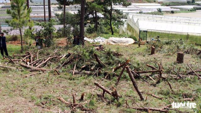 Bắt hai người trong nhóm lâm tặc chặt 20 cây thông 40 tuổi - Ảnh 6.