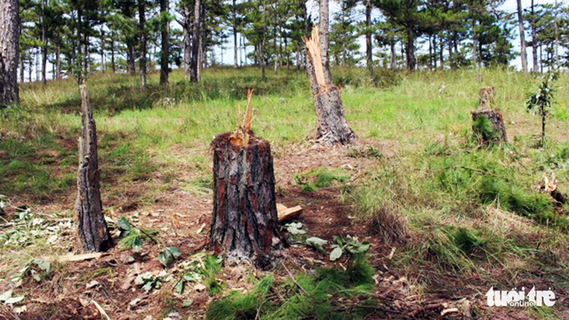 Bắt hai người trong nhóm lâm tặc chặt 20 cây thông 40 tuổi - Ảnh 7.