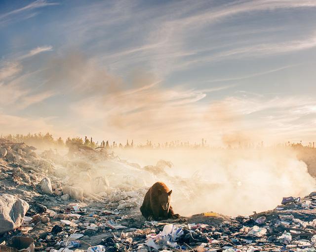 Nhói lòng cảnh gấu tuyệt vọng tìm thức ăn bên bãi rác - Ảnh 1.
