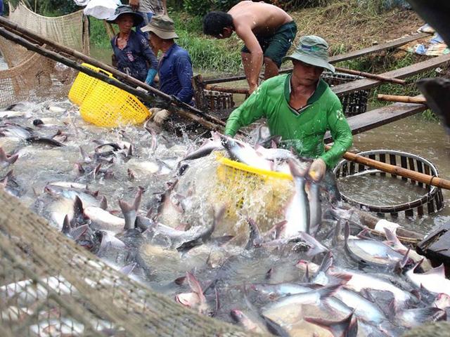 Giá cá tra và tôm tăng mạnh theo hướng có lợi cho người nuôi - Ảnh 1.
