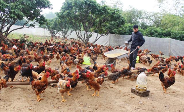 Xây dựng thương hiệu quốc gia cho sản phẩm gà đồi Yên Thế - Ảnh 1.