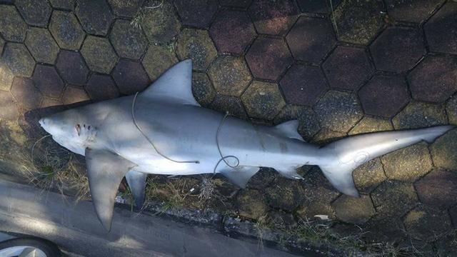 Không có chuyện cá mập tấn công người ở Hạ Long - Ảnh 1.