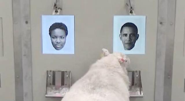 Cừu biết nhận dạng ông Obama, người mẫu Emma Watson - Ảnh 1.