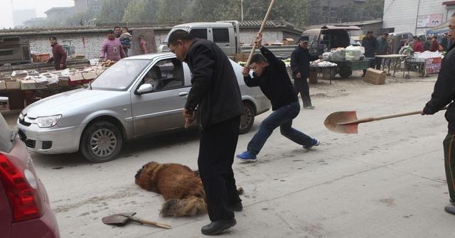 Kinh hoàng với bầy chó ngao Tây Tạng thả rông ở Trung Quốc - Ảnh 1.