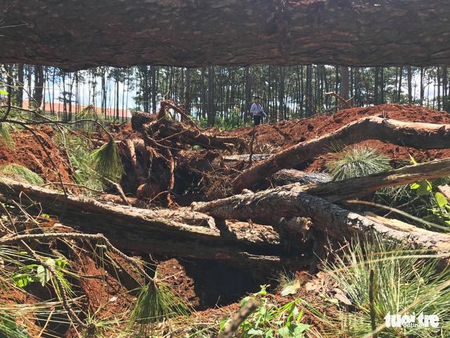 Không tin nổi khi rừng thông cổ thụ bị đốn ngay trước trạm kiểm lâm - Ảnh 2.