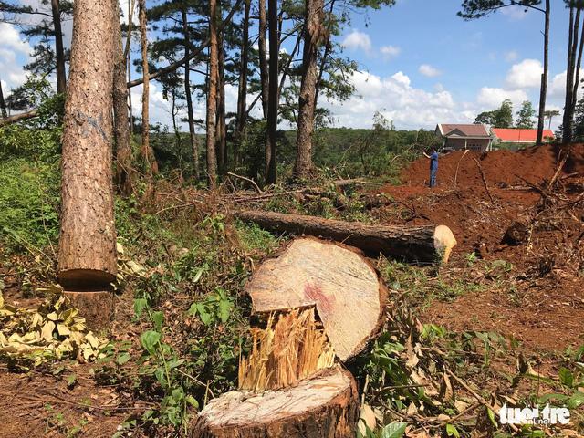 Không tin nổi khi rừng thông cổ thụ bị đốn ngay trước trạm kiểm lâm - Ảnh 5.
