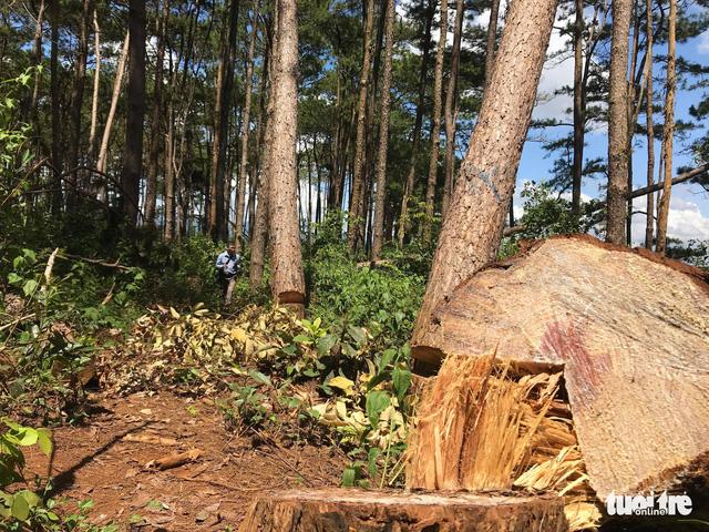 Không tin nổi khi rừng thông cổ thụ bị đốn ngay trước trạm kiểm lâm - Ảnh 4.