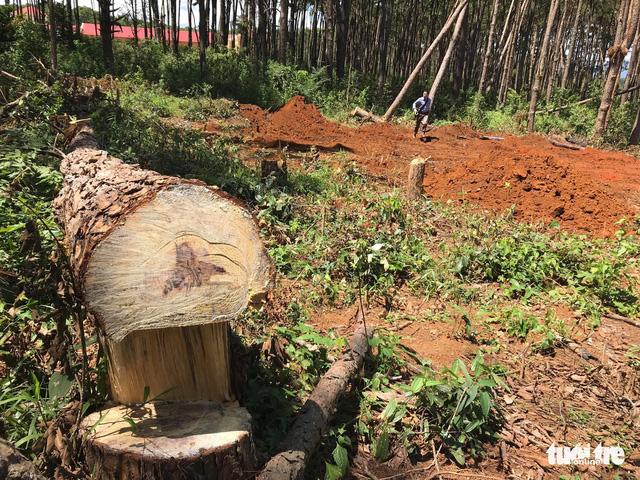 Không tin nổi khi rừng thông cổ thụ bị đốn ngay trước trạm kiểm lâm - Ảnh 6.