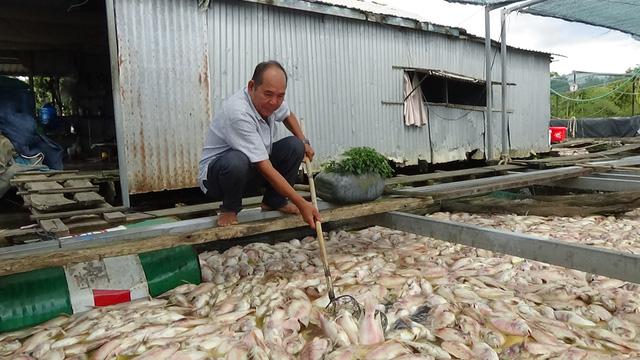 Người nuôi cá khóc ròng, vớt cá chết bán 1000 -2000 đồng/kg - Ảnh 2.