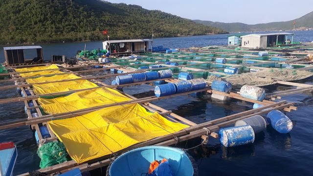 Tảo độc xuất hiện dày đặc trên vịnh Vân Phong - Ảnh 2.