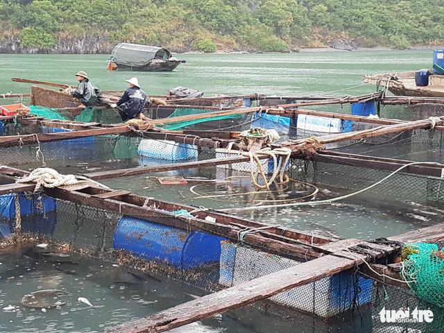 20 tấn cá lồng bè trên vịnh Lan Hạ chết hàng loạt - Ảnh 1.