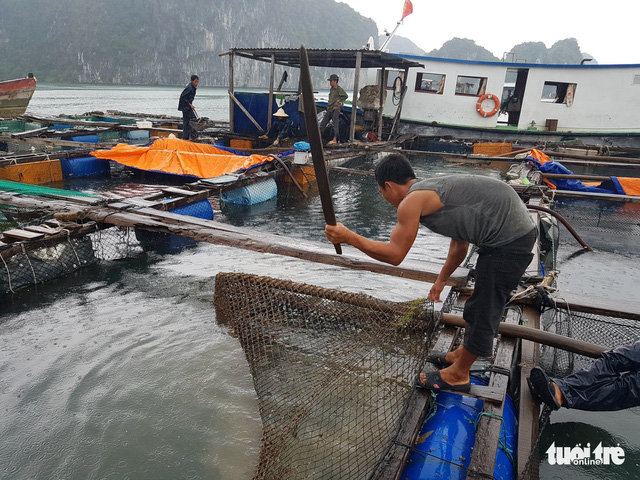 20 tấn cá lồng bè trên vịnh Lan Hạ chết hàng loạt - Ảnh 3.