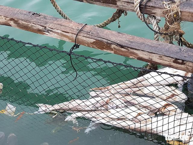 20 tấn cá lồng bè trên vịnh Lan Hạ chết hàng loạt - Ảnh 2.