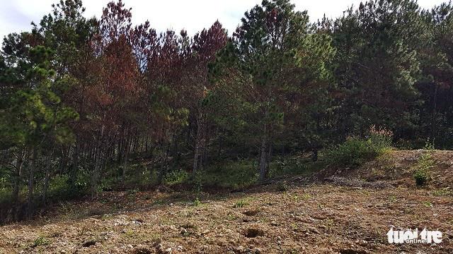 Hơn 600 cây thông tại Lâm Đồng lại bị đầu độc - Ảnh 3.