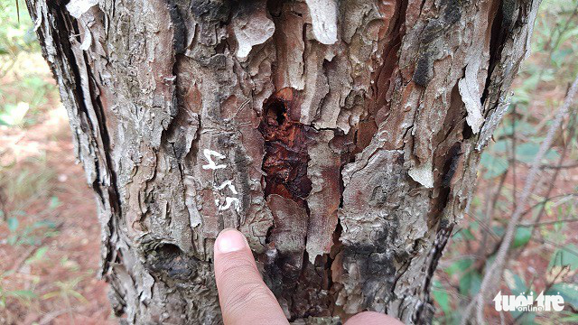 Hơn 600 cây thông tại Lâm Đồng lại bị đầu độc - Ảnh 1.