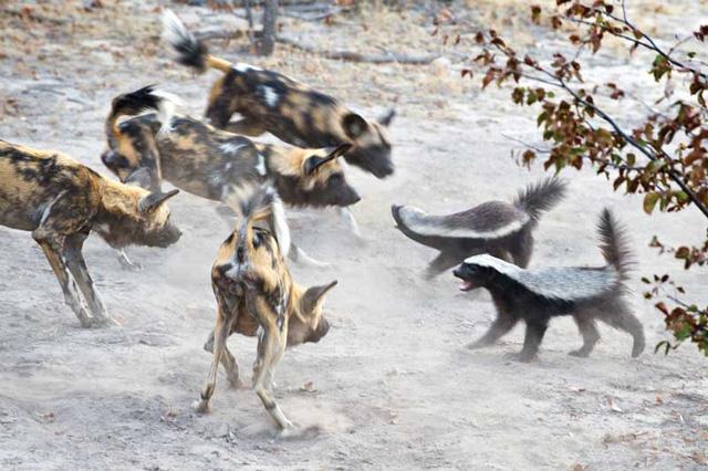 Loài động vật nào không sợ ai, kể cả báo, rắn độc? - Ảnh 2.