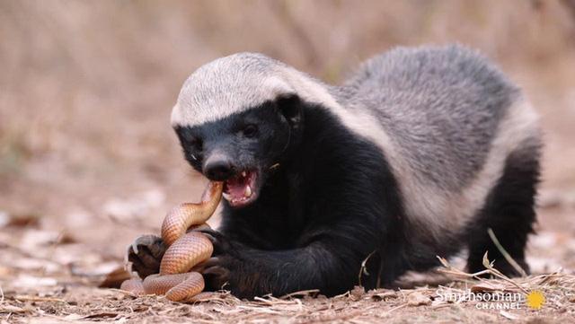 Loài động vật nào không sợ ai, kể cả báo, rắn độc? - Ảnh 3.
