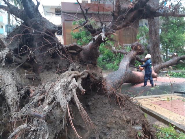 Nhiều cây cổ thụ bật gốc, ngã đổ tại Vũng Tàu - Ảnh 3.