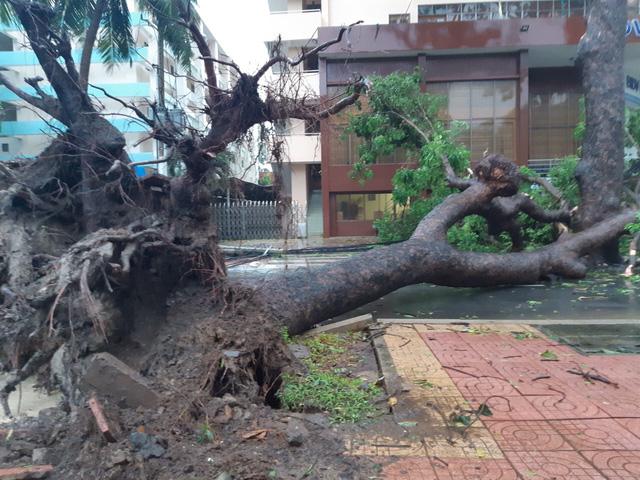 Nhiều cây cổ thụ bật gốc, ngã đổ tại Vũng Tàu - Ảnh 1.